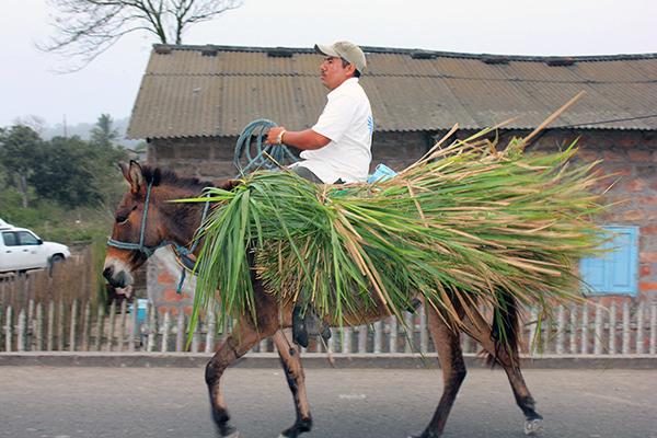 Man on Donkey carrying Toquilla Straw Stalks