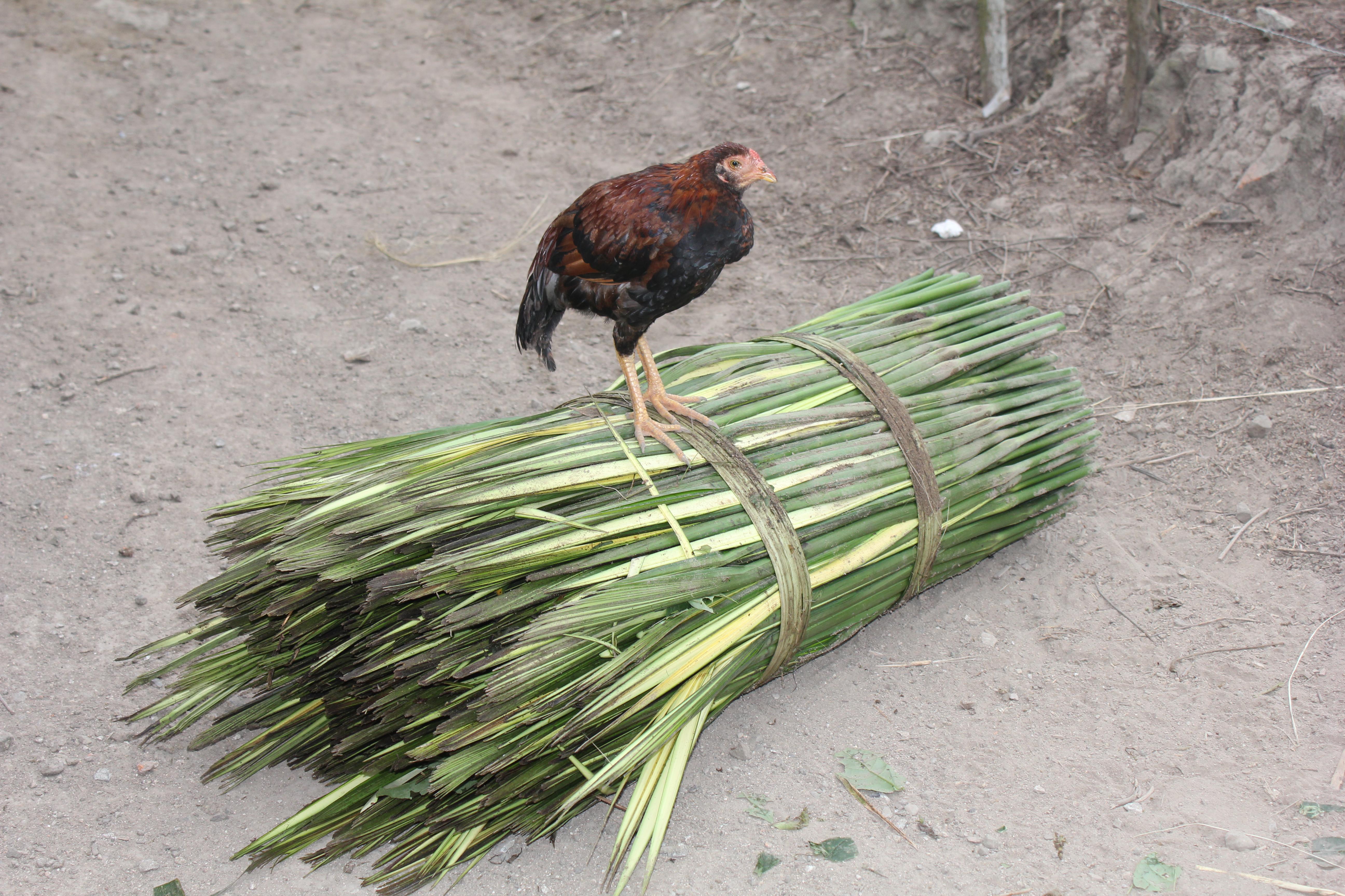 Toquilla straw stalk with hen on top
